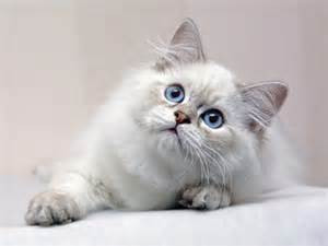 white fluffy cute cat
